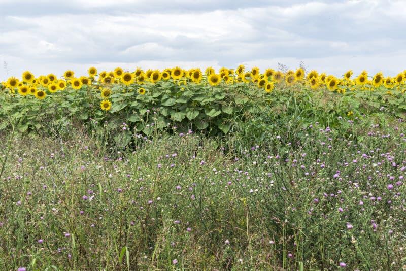Un campo de girasoles un pedazo de la carretera Un mar sin fin de las plantas amarillas hermosas del ‹del †del ‹del †que llen fotografía de archivo libre de regalías
