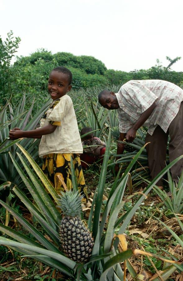 Un campo de la piña, Uganda foto de archivo libre de regalías