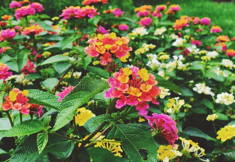 Un campo de las flores coloridas del lantana que florecen en la caída imagen de archivo