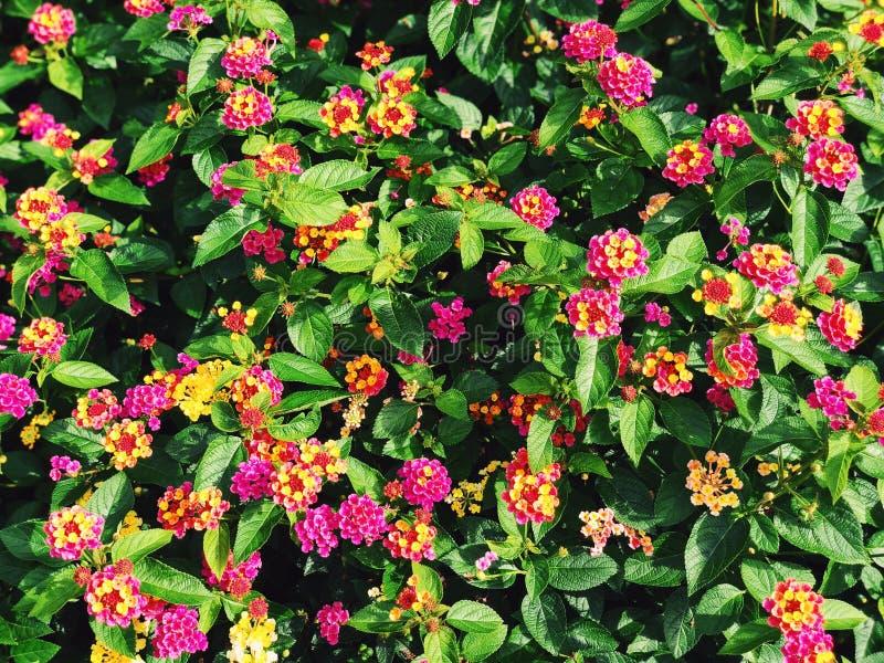 Un campo de las flores coloridas del lantana que florecen en la caída fotos de archivo
