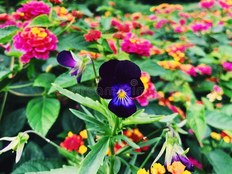Un campo de las flores coloridas del lantana que florecen en la caída imagenes de archivo