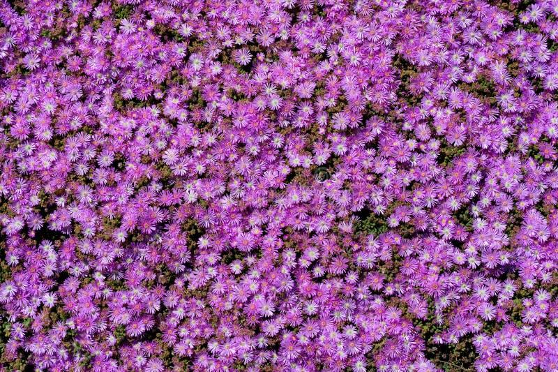 Un campo de las flores púrpuras, asteres fotografía de archivo