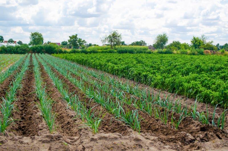 Un campo de las plantaciones verdes jovenes del puerro Verduras crecientes en la granja, cosechando en venta Cultivo y cuidado pa imágenes de archivo libres de regalías