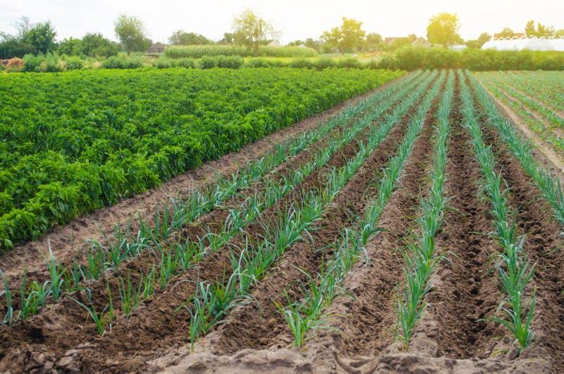 Un campo de las plantaciones verdes jovenes del puerro Verduras crecientes en la granja, cosechando en venta Negocio agrícola y c fotografía de archivo libre de regalías