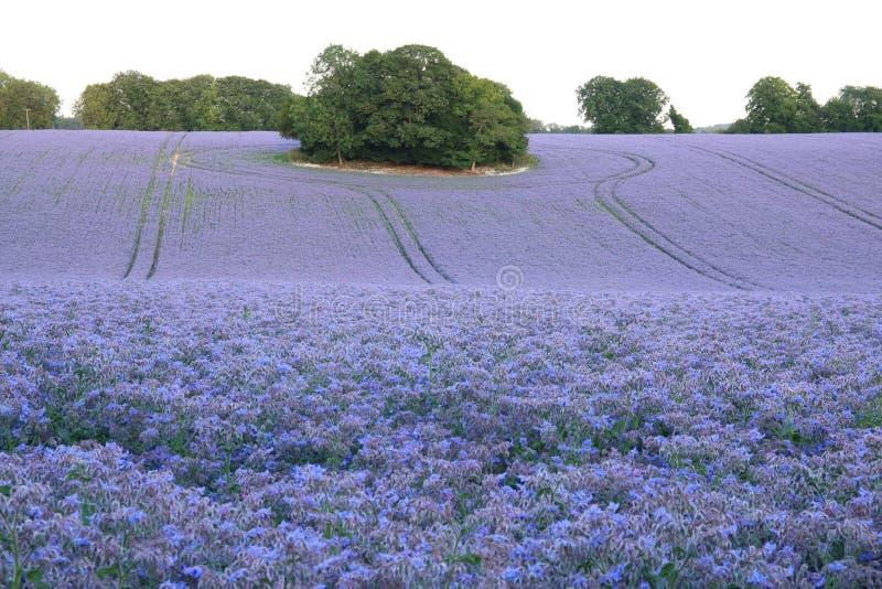 Un campo de las plantas hermosas de la borraja foto de archivo