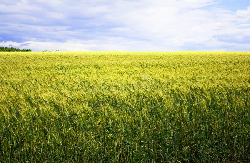 Un campo de trigo amarillo, verde hermoso, contra un fondo del cielo azul foto de archivo libre de regalías