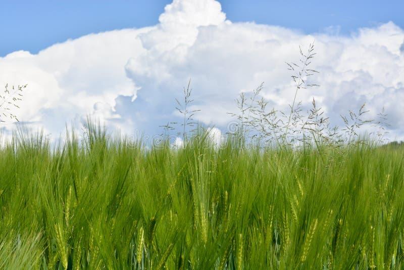 Un campo de trigo en la primavera con las nubes de tormenta en el horizonte imágenes de archivo libres de regalías