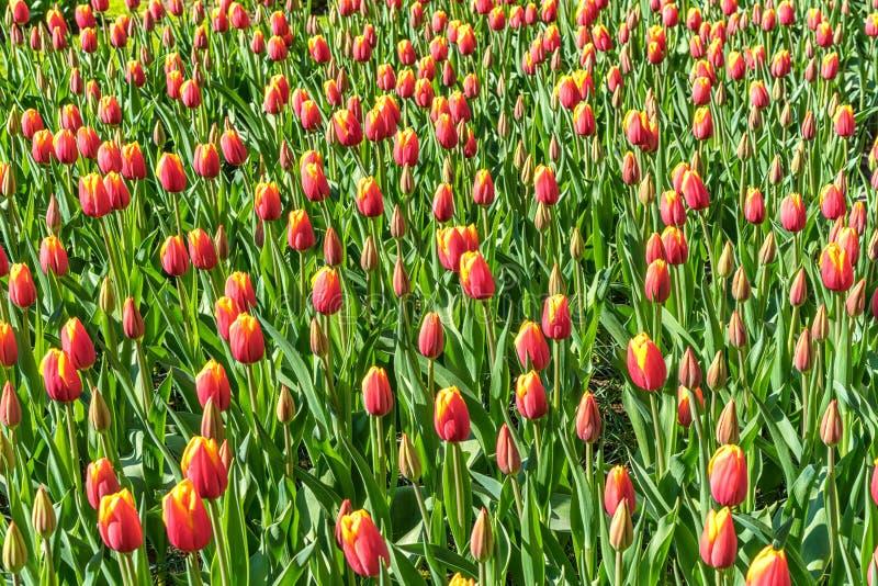 Un campo de tulipanes rojo-amarillos, en un día soleado, en la primavera imagen de archivo libre de regalías
