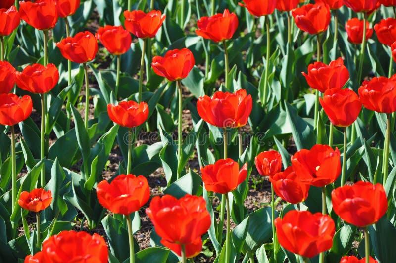 Campo de tulipanes rojos fotos de archivo