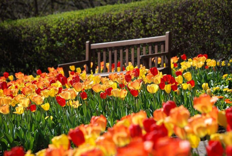 Un campo de tulipanes rojos y amarillos con un banco marrón en el parque de Cantigny en Wheaton, Illinois fotos de archivo