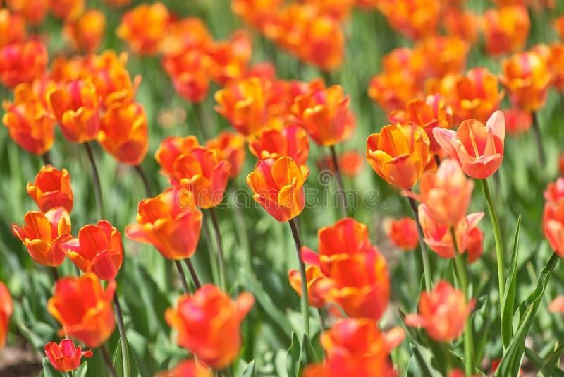 Un campo de tulipanes rojos y amarillos en un día soleado Una variedad de tulipanes Asahi primavera del concepto fotografía de archivo libre de regalías