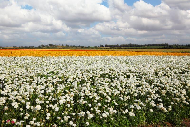 Un campo dei fiori immagini stock