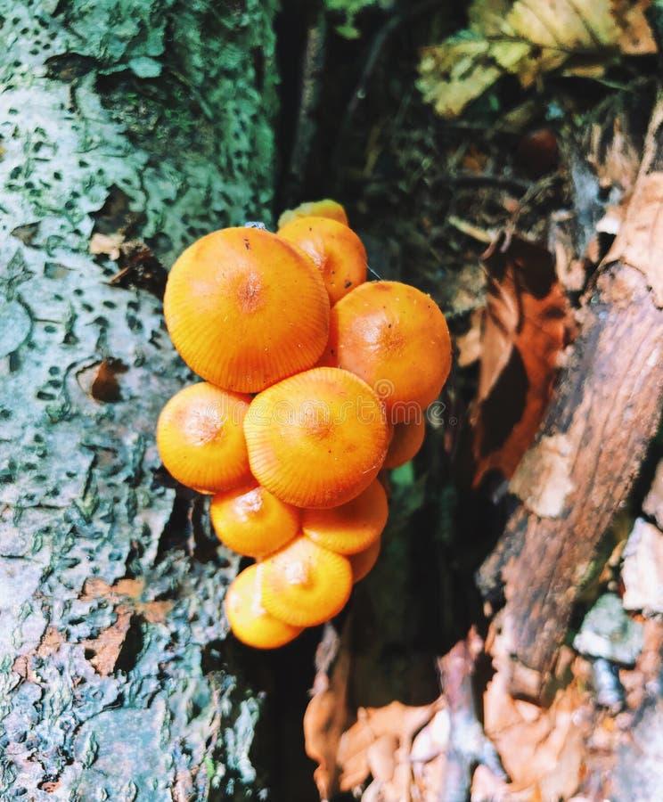 Un campo dei funghi gialli del cappuccio che crescono dentro il legno fotografie stock