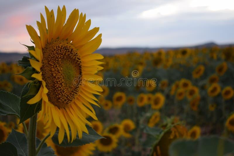 Un campo dei girasoli al tramonto fotografia stock