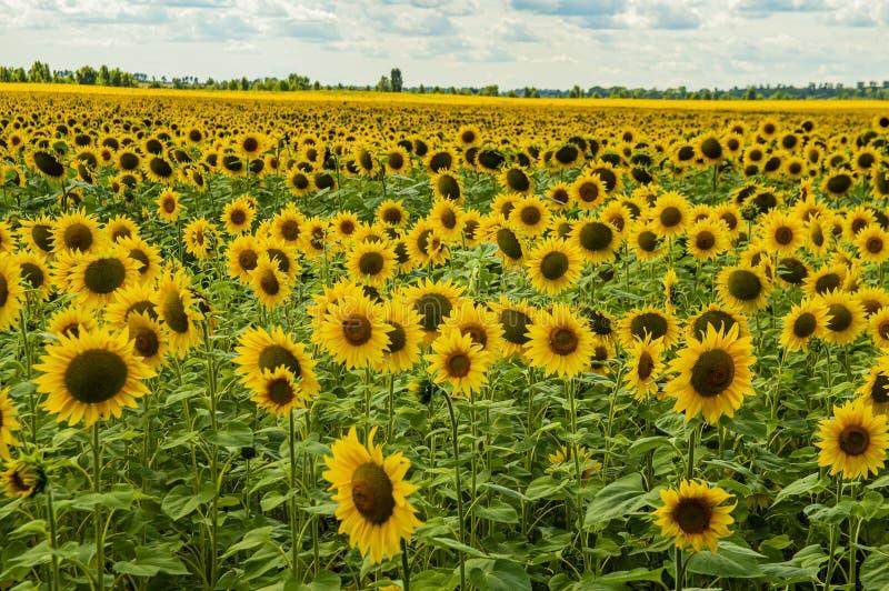 Un campo dei girasoli contro un cielo nuvoloso Paesaggio naturale fotografie stock