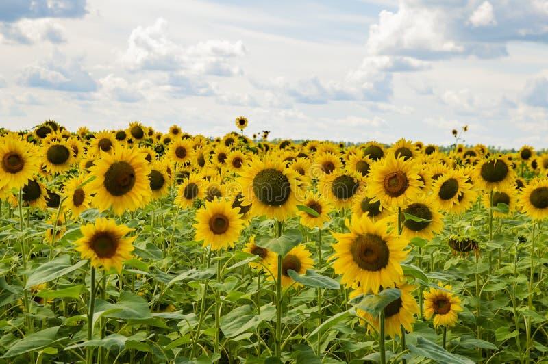 Un campo dei girasoli contro un cielo nuvoloso Paesaggio naturale immagine stock libera da diritti