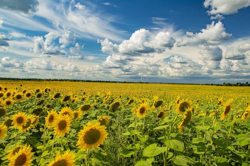Un campo dei girasoli contro un cielo nuvoloso Paesaggio naturale immagine stock