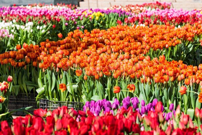 Un campo dei tulipani - arancia con gli accenti di Yelllow, giallo, porpora, immagini stock libere da diritti