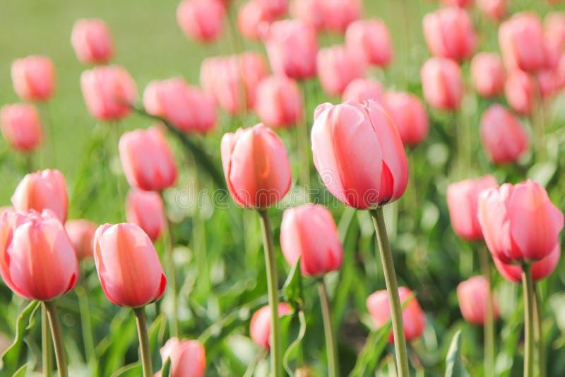 Un campo dei tulipani rosa fotografia stock libera da diritti