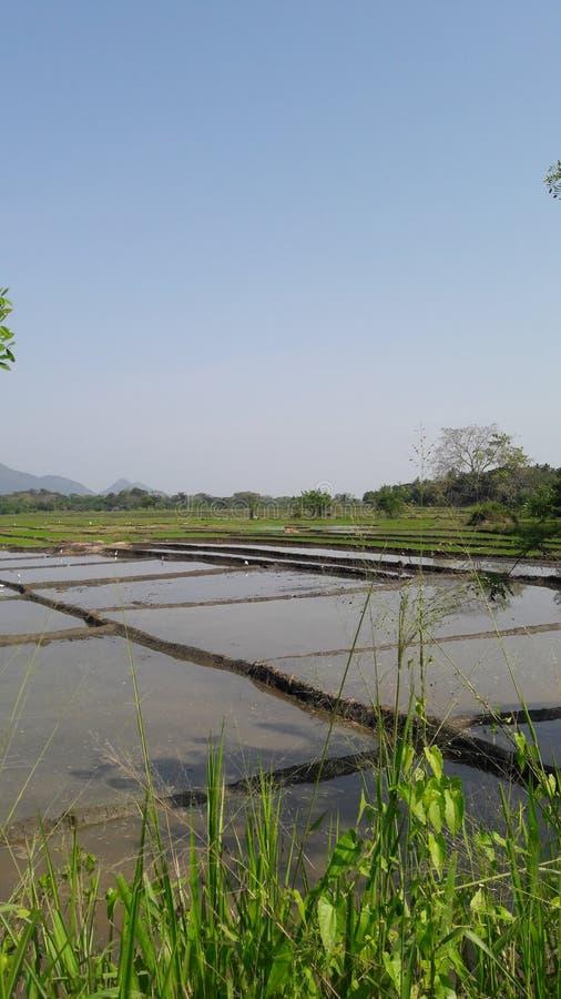Un campo del arroz en el buttala Sri Lanka foto de archivo