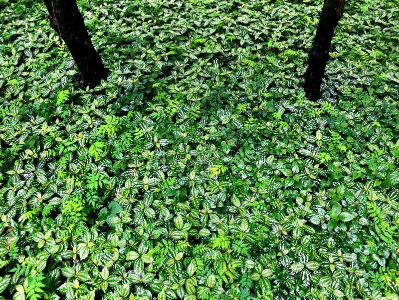 Un campo del cadierei verde del pilea planta el crecimiento imagenes de archivo