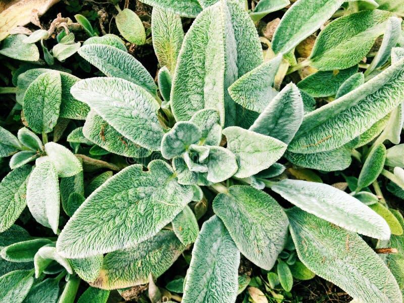 Un campo del crecimiento verde de las plantas del lanata del Stachys imagen de archivo libre de regalías