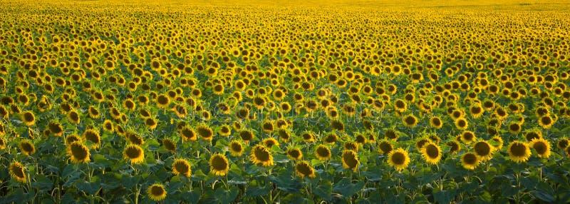 Un campo del girasole densamente piantato è un buon fondo giallo verde fotografia stock