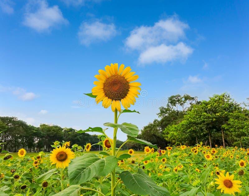 Un campo del girasole in un giardino, i petali gialli della diffusione del capolino sul fondo di cui sopra degli alberi delle fog fotografia stock libera da diritti