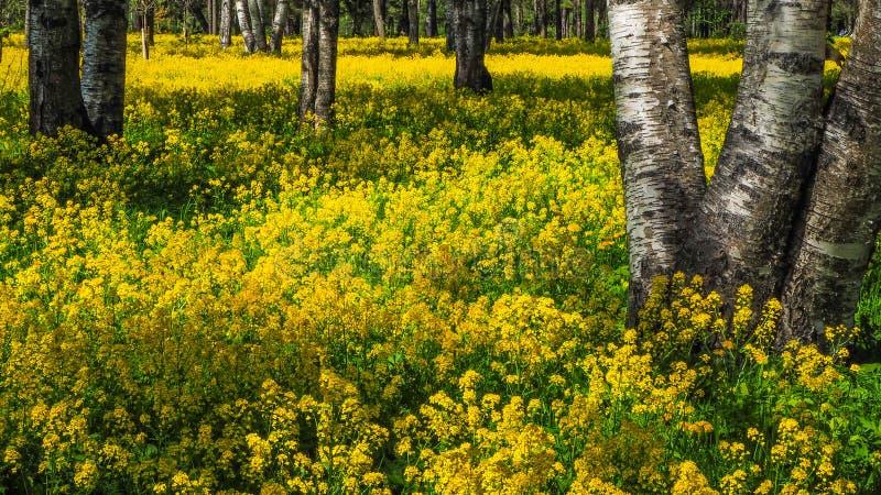 Un campo del seme di ravizzone di fioritura nel boschetto della betulla Fiori gialli Giugno in San Pietroburgo immagine stock