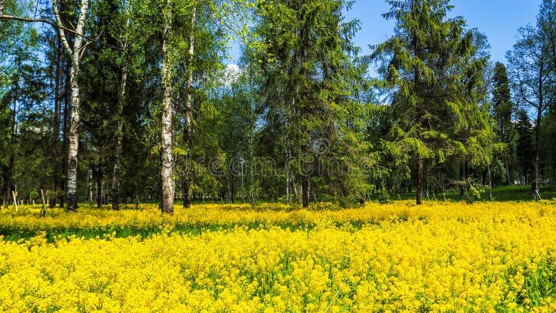 Un campo del seme di ravizzone di fioritura nel boschetto della betulla Fiori gialli Giugno in San Pietroburgo fotografie stock libere da diritti