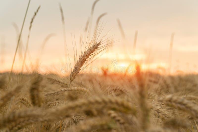Un campo del trigo en la puesta del sol Agricultura fotos de archivo libres de regalías
