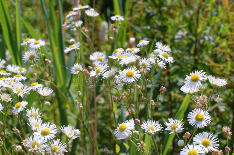 Un campo delle margherite in mezzo delle erbe un giorno soleggiato immagini stock