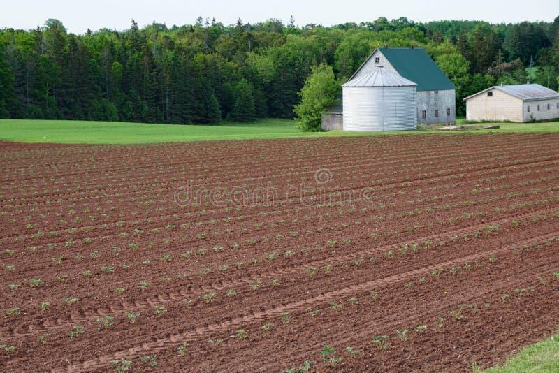 Un campo delle piante di fragola che coltivano in rosso suolo di PEI immagini stock libere da diritti