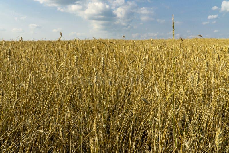 Un campo di grano fotografia stock libera da diritti