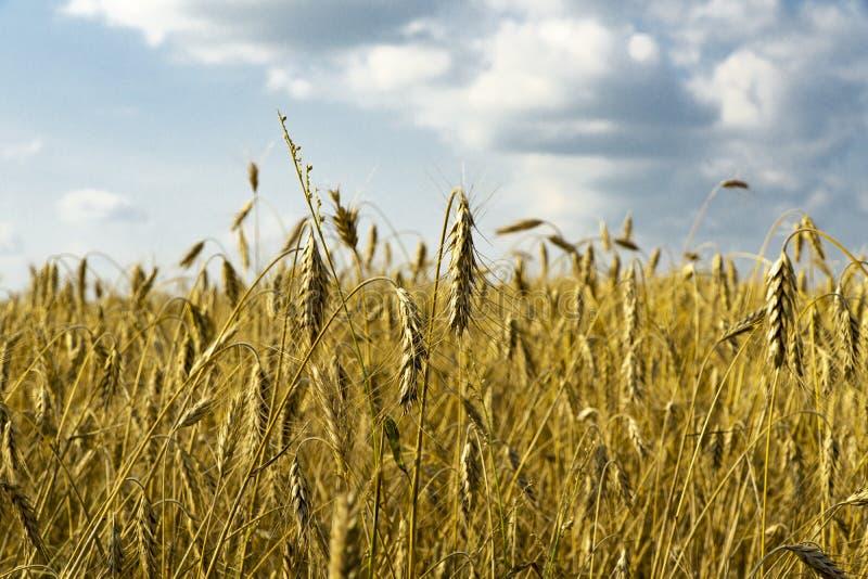Un campo di grano fotografie stock