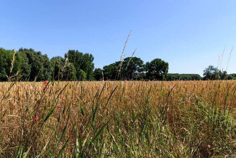 Un campo di grano dorato fotografia stock