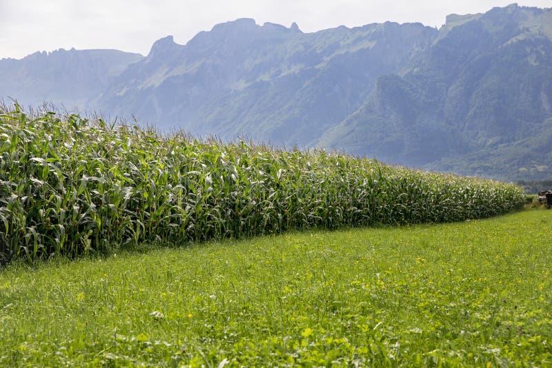 Un campo di mais nelle montagne fotografia stock