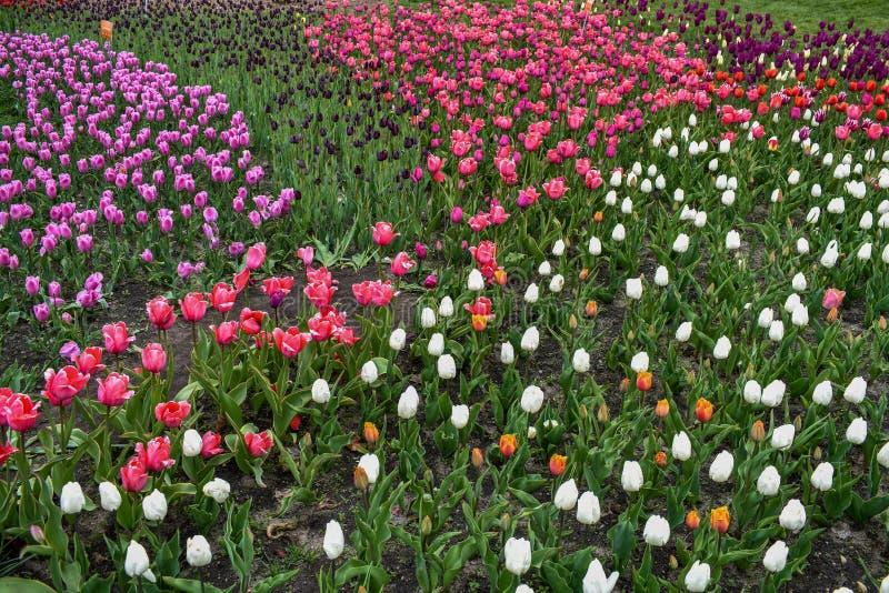 Un campo di multi tulipani colorati fotografia stock