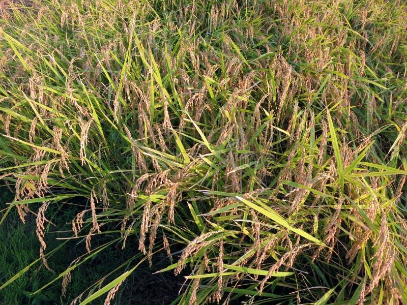 Un campo di riso in autunno in anticipo in pianura di Kanto immagine stock libera da diritti