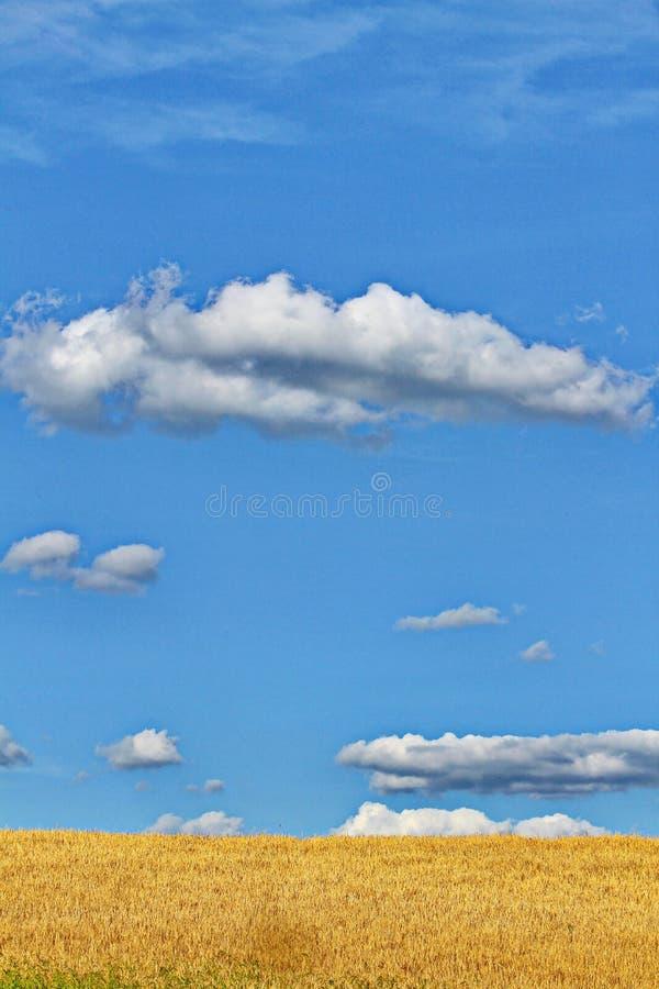 Un campo dorato contro lo sfondo di un cielo infinito blu con le nuvole bianche fotografie stock libere da diritti