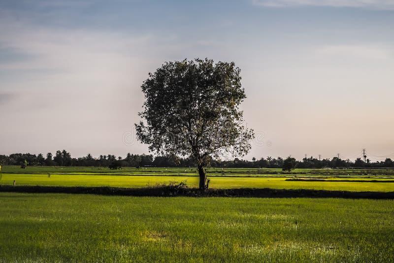 Un campo en el cual crece un árbol alto hermoso, un paisaje del verano en tiempo caliente soleado fotografía de archivo