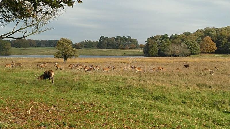 Un campo en el parque de Tatton con las manadas de la m fotografía de archivo libre de regalías
