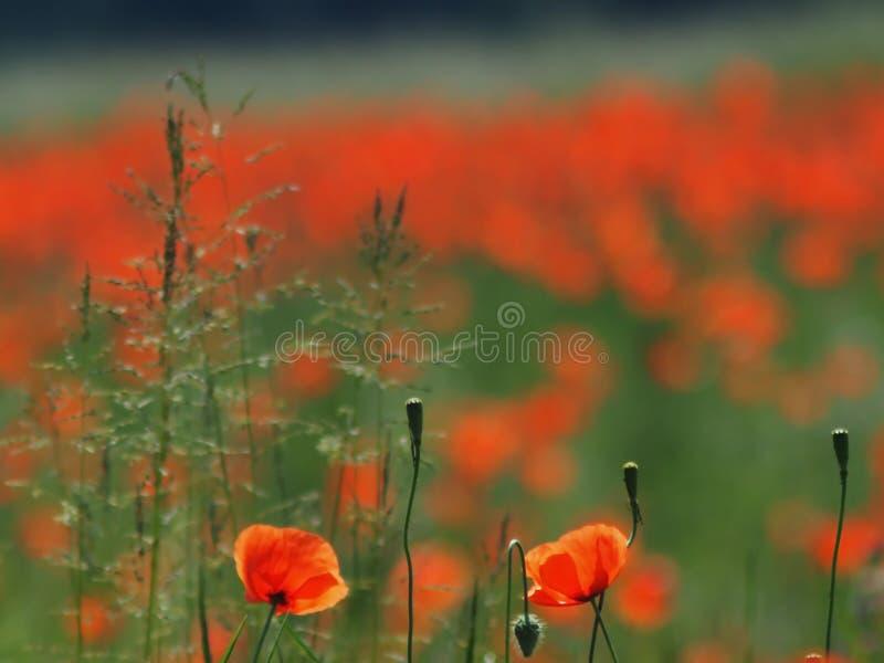 Un campo entero de amapolas rojas tiene brotes fotos de archivo