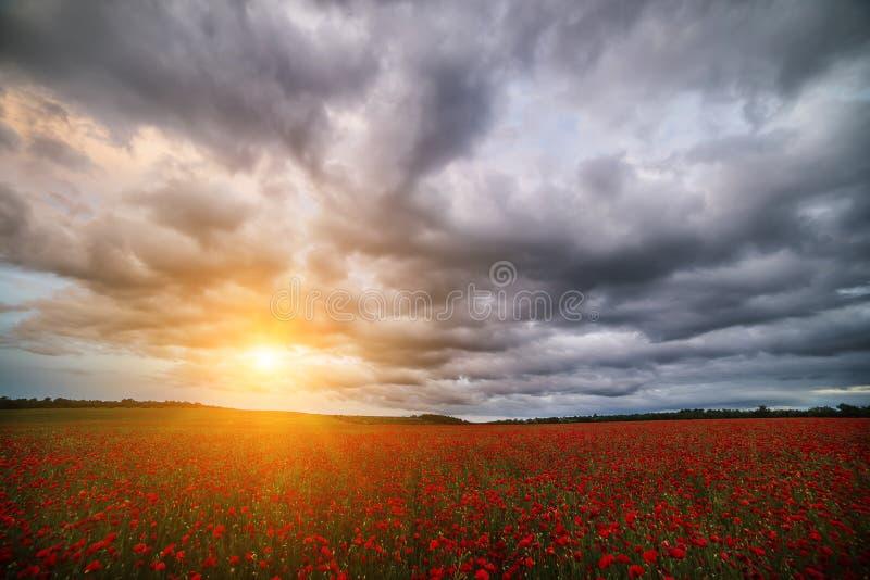 Un campo hermoso con las amapolas rojas florece en la puesta del sol imagenes de archivo