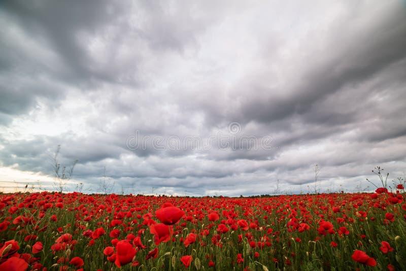 Un campo hermoso con las amapolas rojas florece en la puesta del sol imagen de archivo