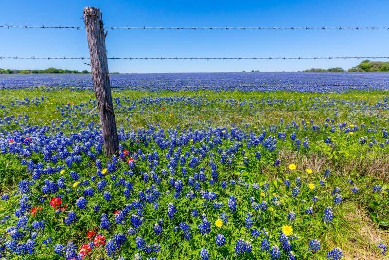 Un campo hermoso cubierto con Texas Bluebonnets famoso fotografía de archivo libre de regalías