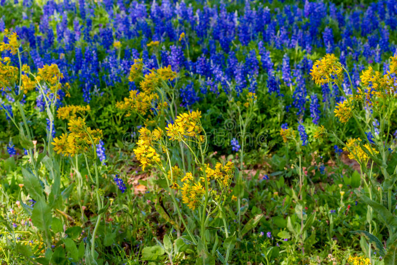 Un campo hermoso cubierto con Texas Bluebonnets famoso fotografía de archivo