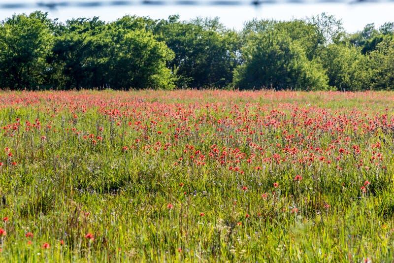 Un campo hermoso de la brocha india anaranjada brillante en Oklahoma imagen de archivo libre de regalías