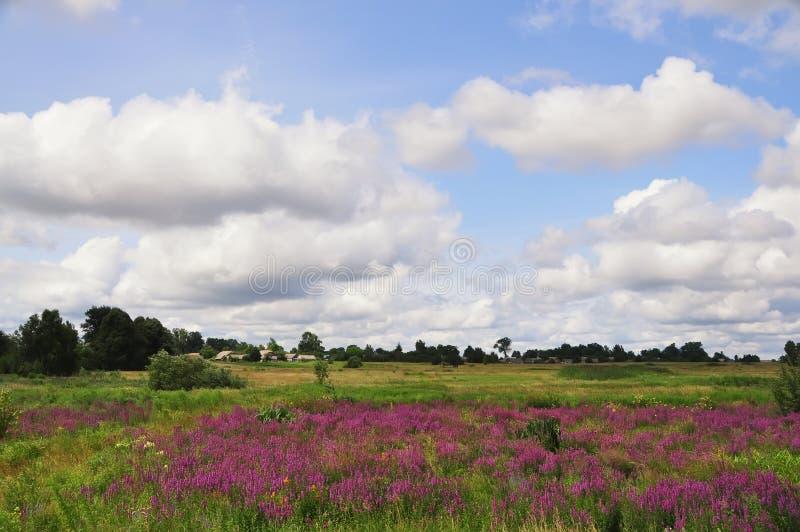Un campo hermoso del verano con una floración que se derrama de la lila salvaje florece fotos de archivo libres de regalías