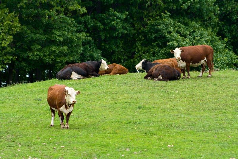 Un campo por completo de las vacas de Hereford. imagen de archivo